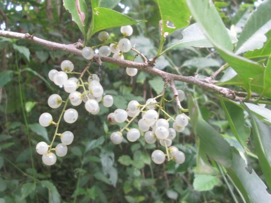Achatocarpus nigricans (Achatocarpaceae)