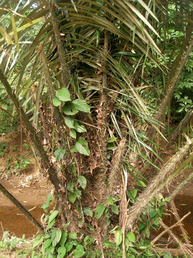 Astrocaryum malybo H.Karst. - Arecaceae  (Endémica) (En Peligro)