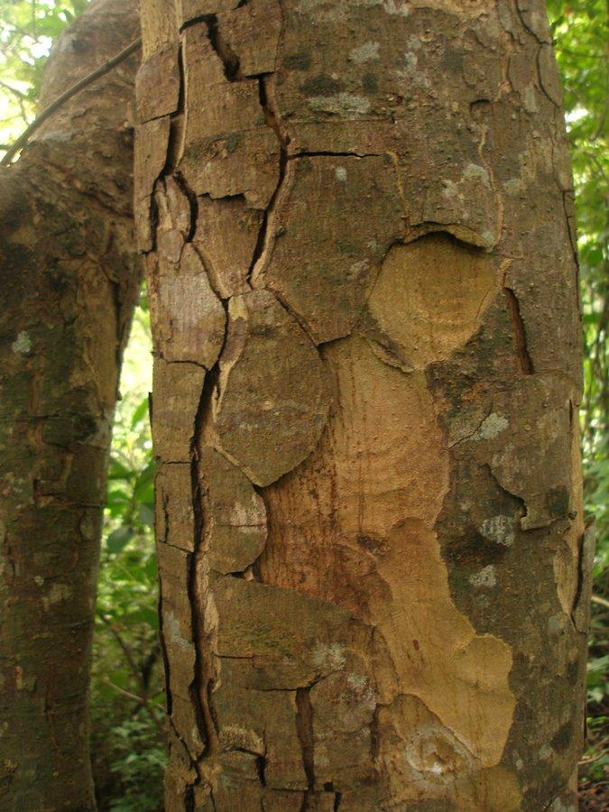 Astronium graveolens Jacq. - Anacardiaceae