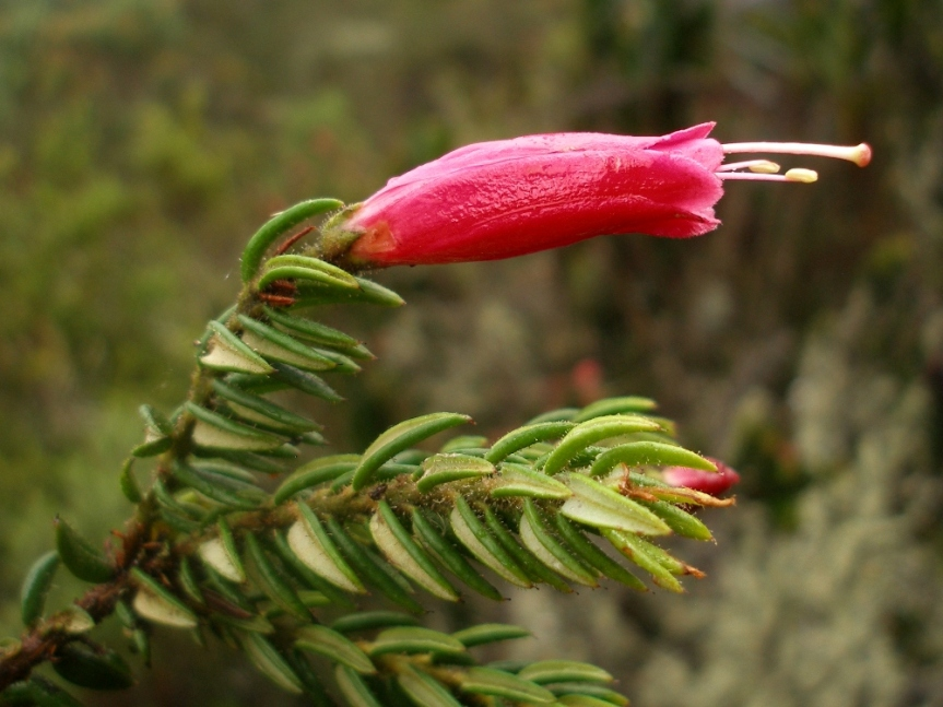 Bejaria resinosa –Ericaceae