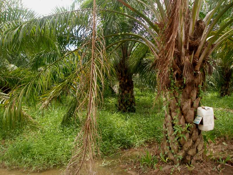 Elaeis guineensis Jacq. - Arecaceae (Exótica)