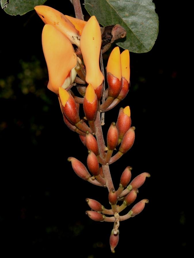 Erythrina fusca –Fabaceae