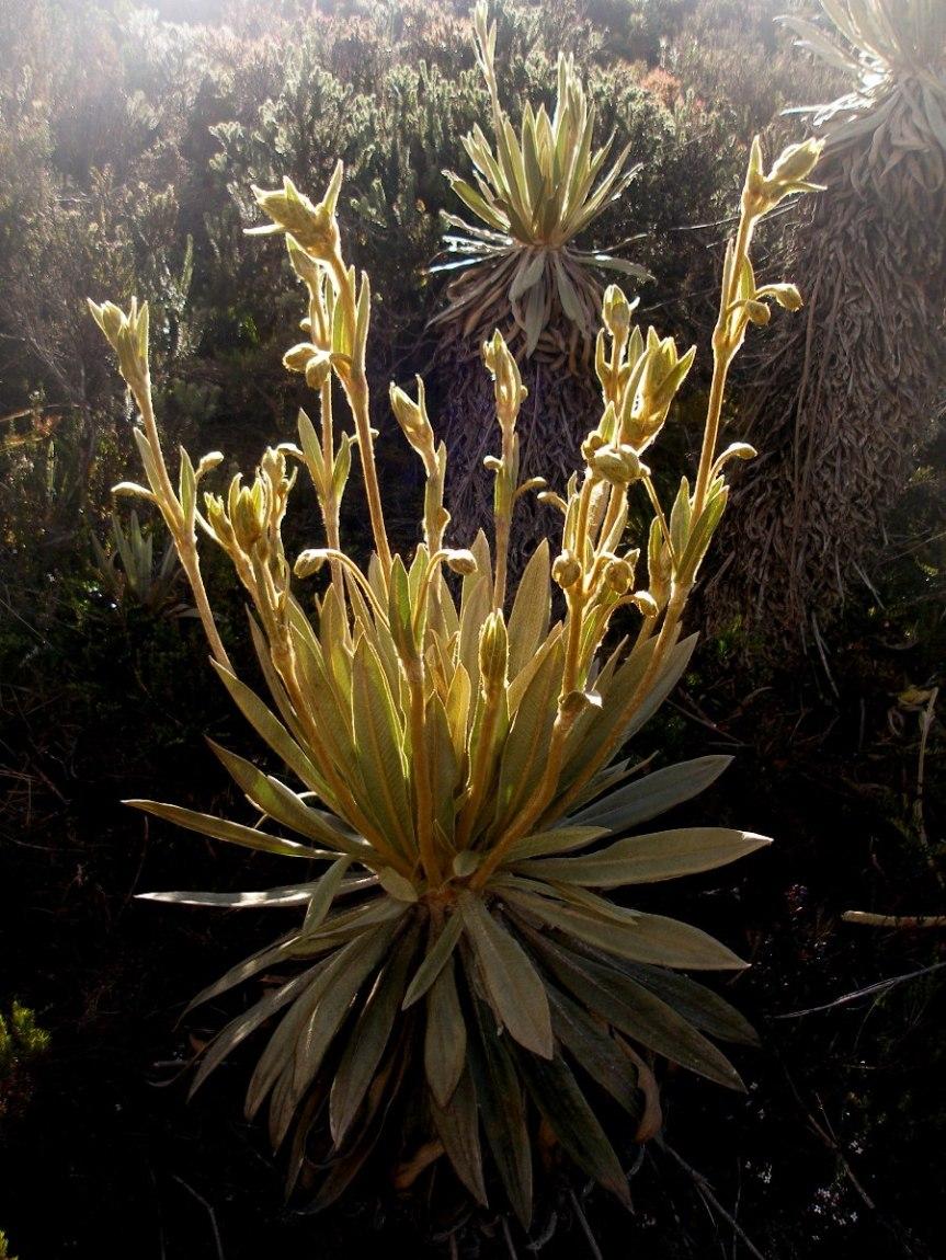 Espeletia grandiflora Humb. & Bonpl. – Asteraceae(Endémica)