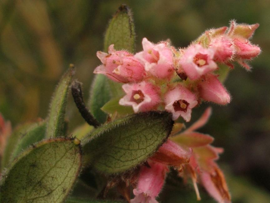 Gaylussacia buxifolia –Ericaceae