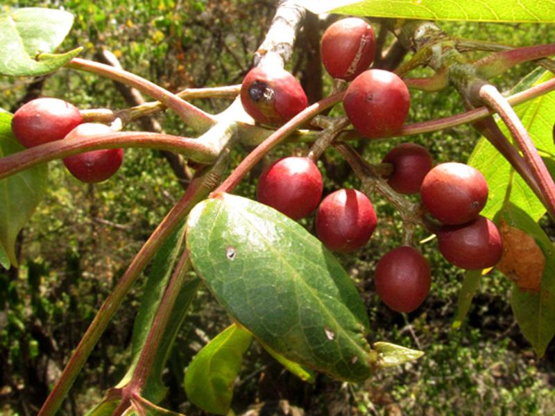 Bursera simaruba (L.) Sarg. –Burseraceae