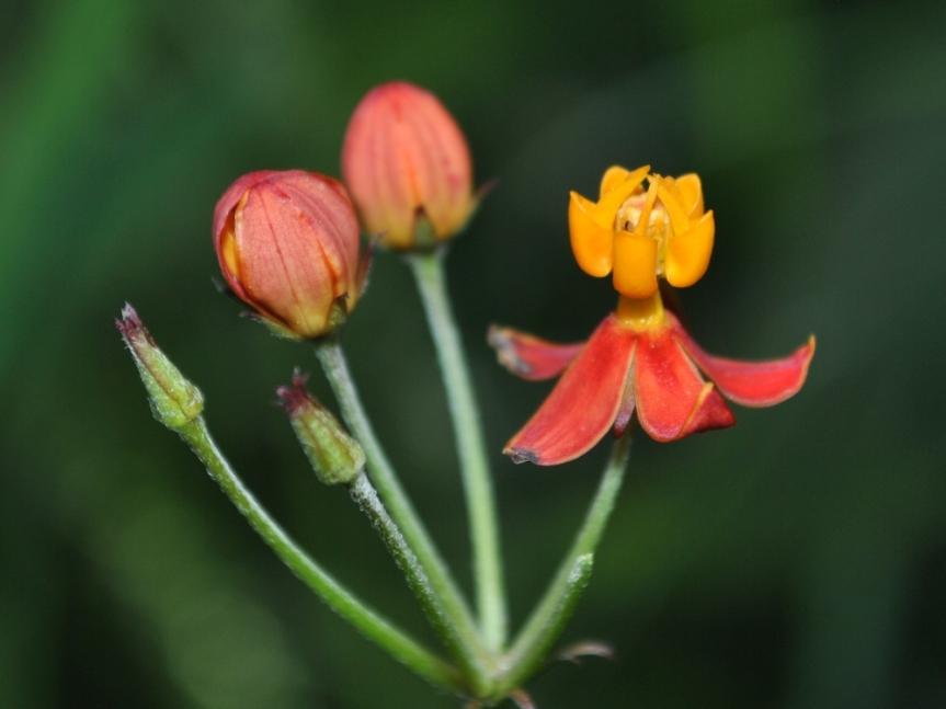 Asclepias curassavica L. - Apocynaceae