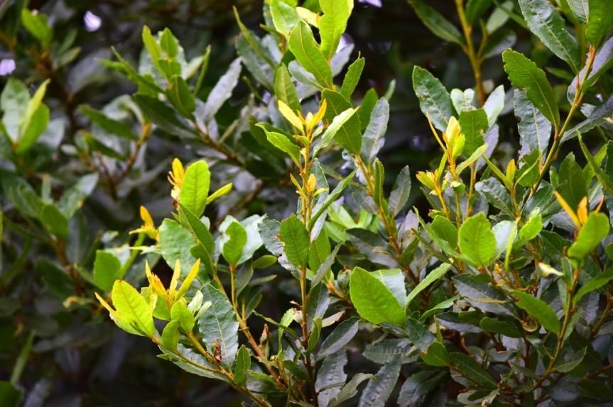 Morella parvifolia - Myricaceae