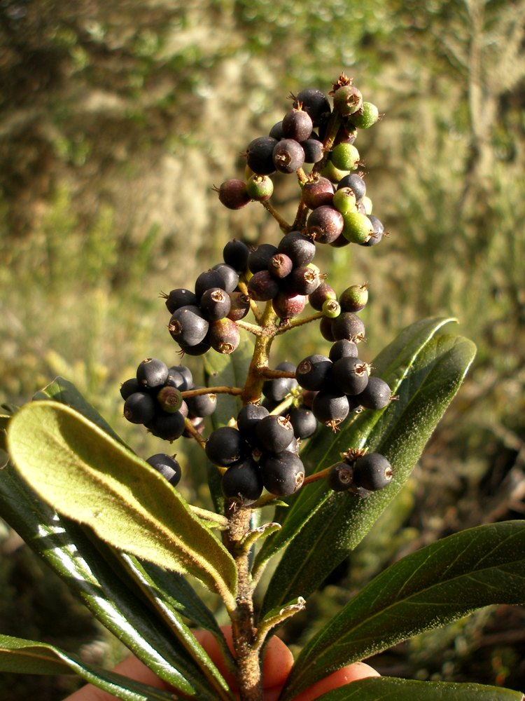 Oreopanax mutisianus (Kunth) Decne. & Planch. – Araliaceae(Endémica)