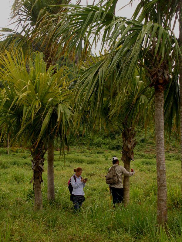 Sabal mauritiiformis (H.Karst.) Griseb. & H.Wendl. - Arecaceae