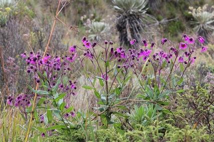 Senecio formosus Kunth - Asteraceae