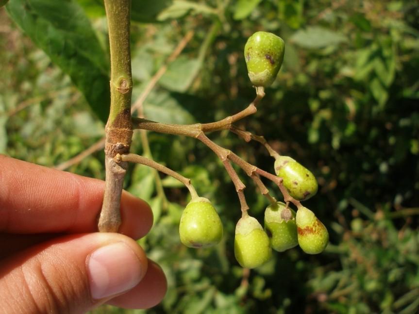 Vitex cymosa –Verbenaceae