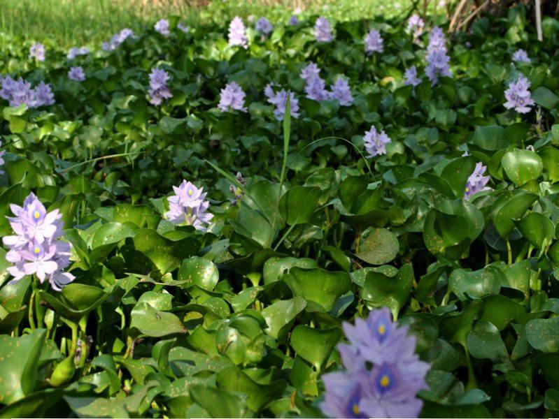 Eichornia crassipes