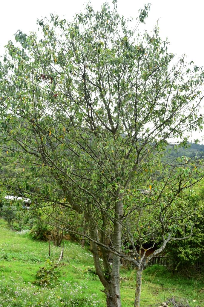 Prunus persica - Rosaceae