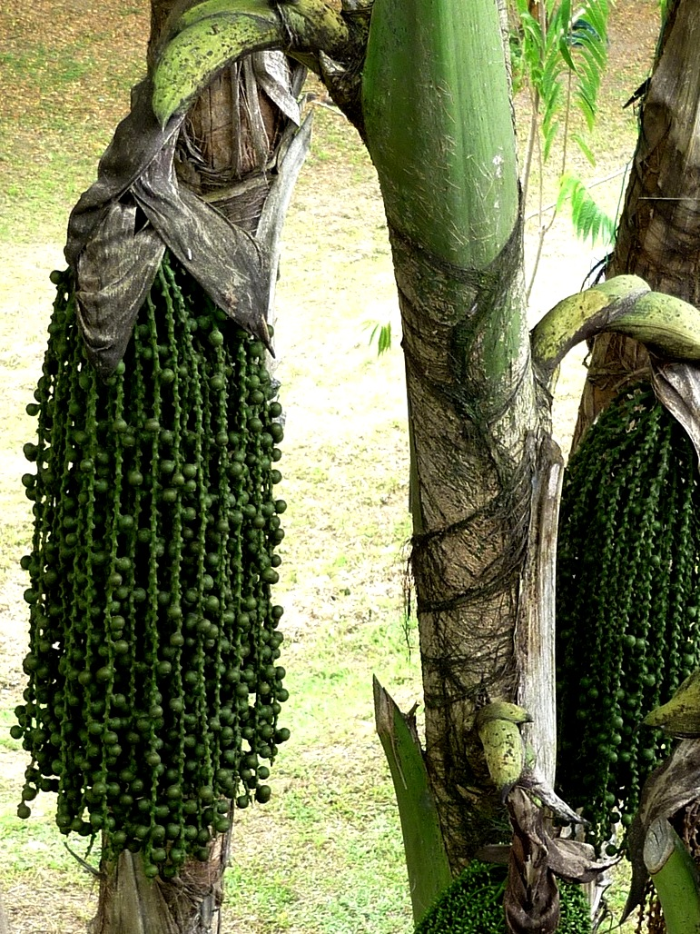 Caryota mitis Lour. - Arecaceae (exótica)