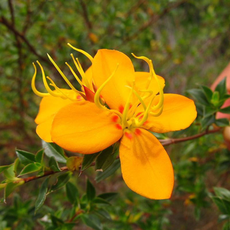 Acanthella sprucei –Melastomataceae