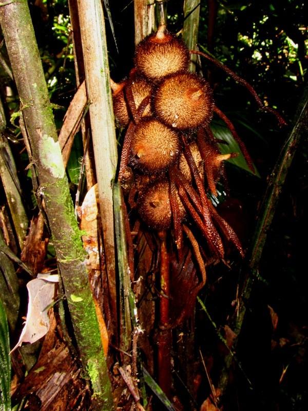 Astrocaryum ciliatum F.Kahn & B.Millán - Arecaceae