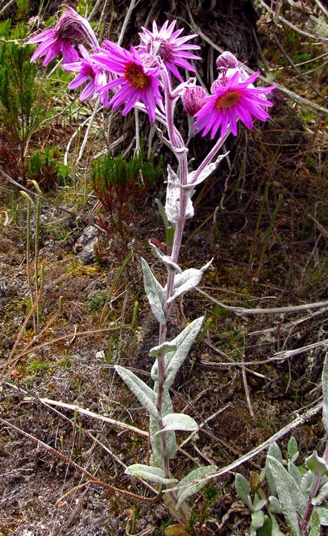Senecio formosissimus Cuatrec. – Asteraceae(Endémica)