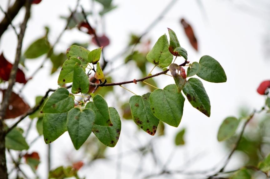 Vallea stipularis - Elaeocarpaceae