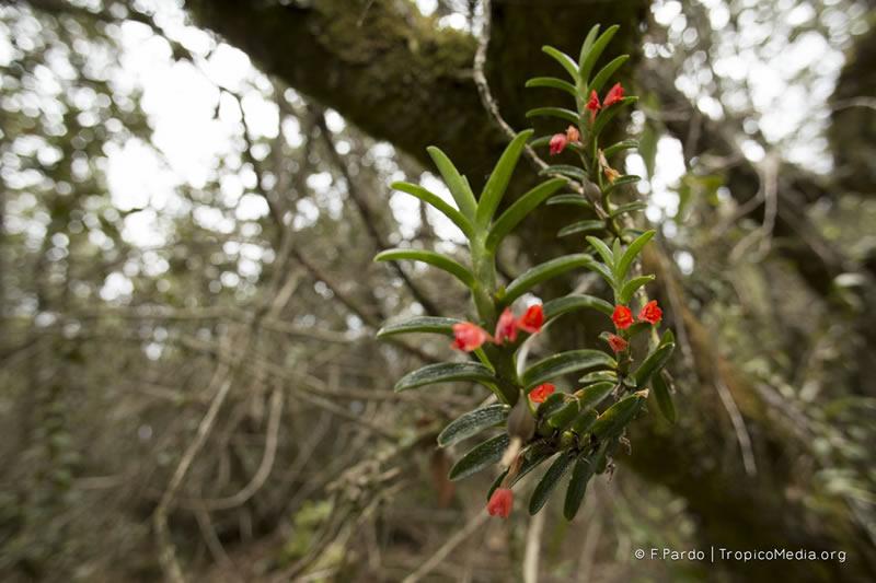 Fernandezia lanceolata –Orchidaceae