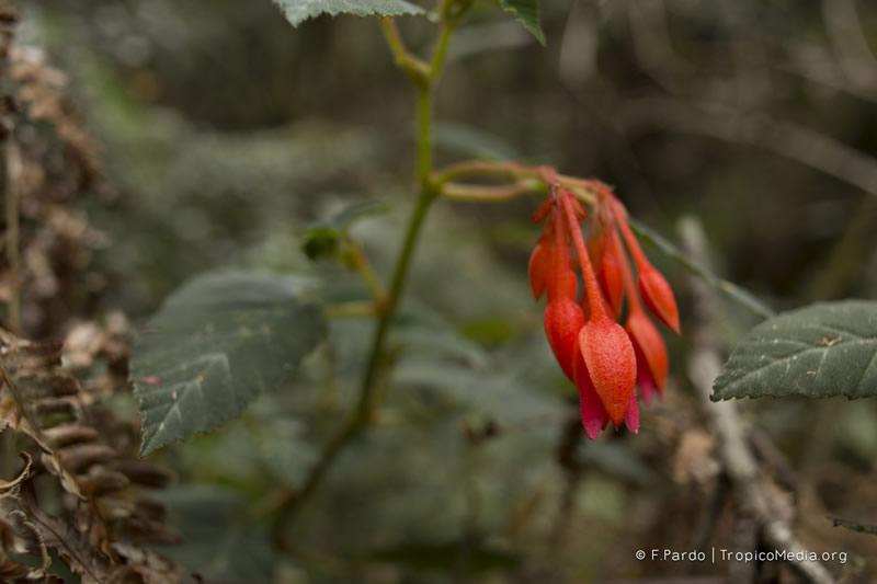 Begonia ferruginea –Begoniaceae