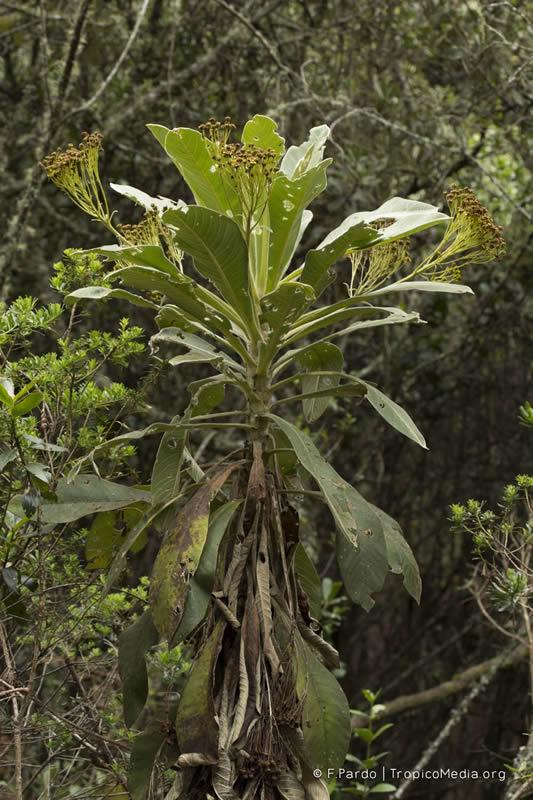 Espeletiopsis aff. insignis –Asteraceae