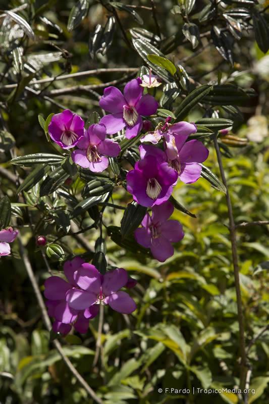 Meriania longifolia –Melastomataceae