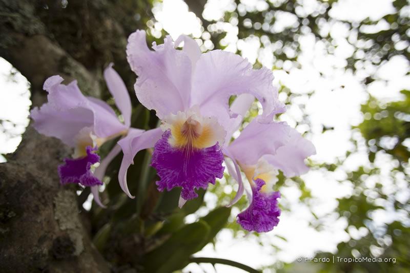 Cattleya trianae –Orchidaceae