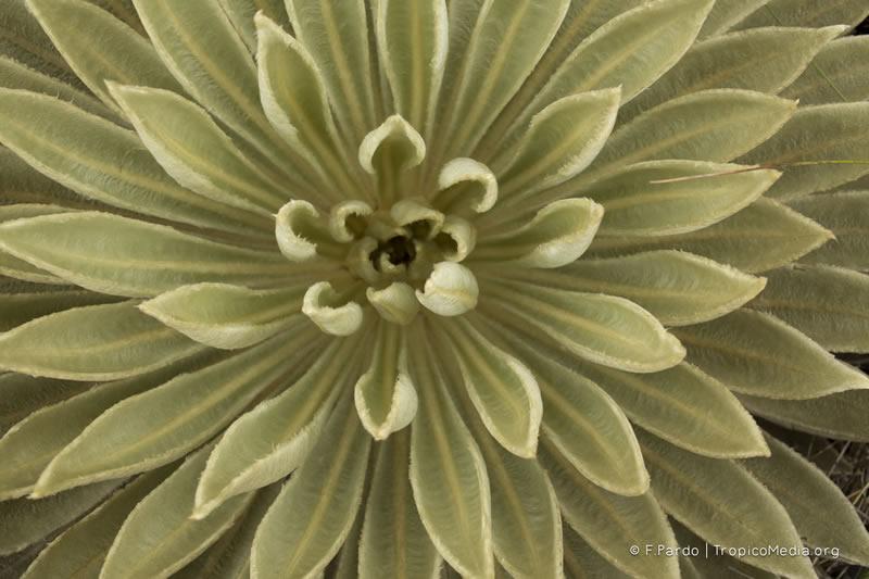 Espeletiopsis muiska (Cuatrec.) Cuatrec. – Asteraceae(Endémica)
