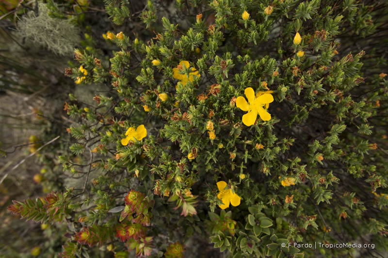 Hypericum laricifolium –Hypericaceae
