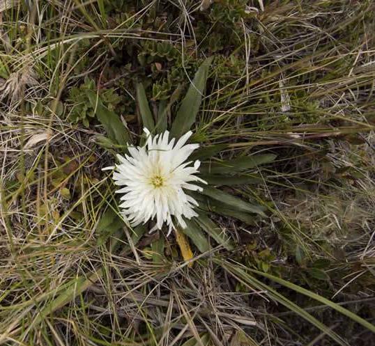 Hypochaeris sessiliflora Kunth –Asteraceae