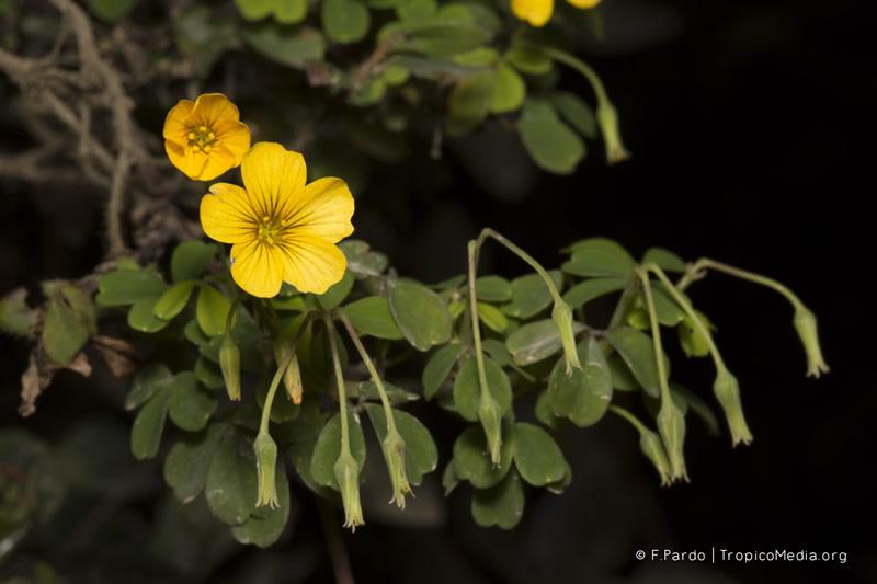 Oxalis medicaginea –Oxalidaceae