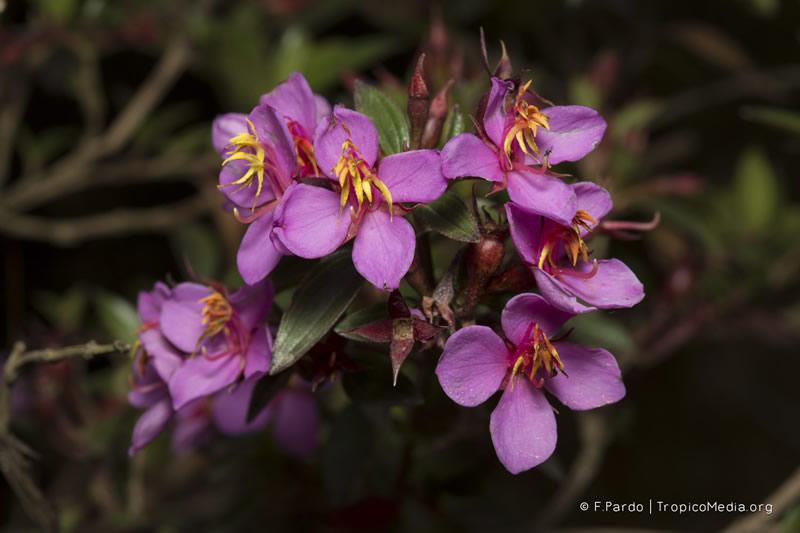 Monochaetum myrtoideum –Melastomataceae