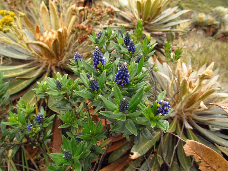 Monnina aestuans –Polygalaceae