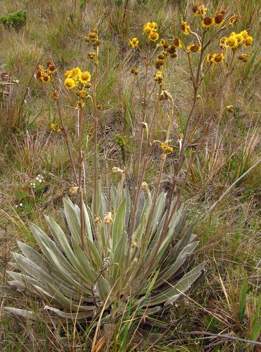 Espeletia boyacensis Cuatrec. – Asteraceae(Endémica)