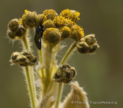 Espeletiopsis guacharaca (S.Díaz) Cuatrec. – Asteraceae(Endémica)