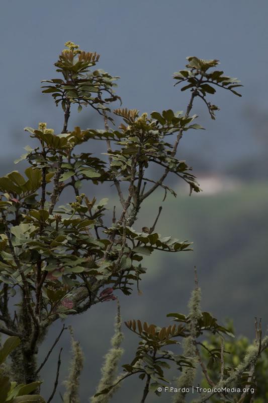 Brunellia propinqua –Brunelliaceae