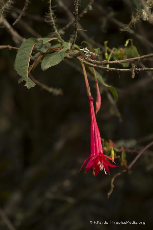 Fuchsia venusta –Onagraceae