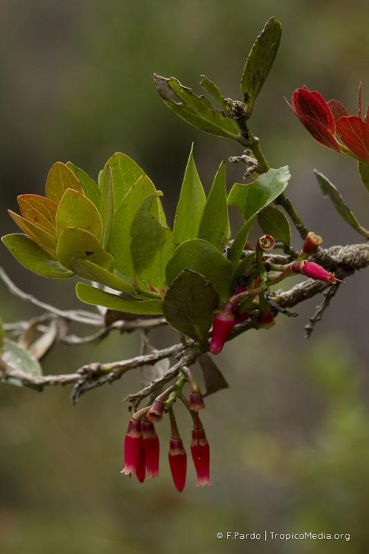 Macleania rupestris –Ericaceae