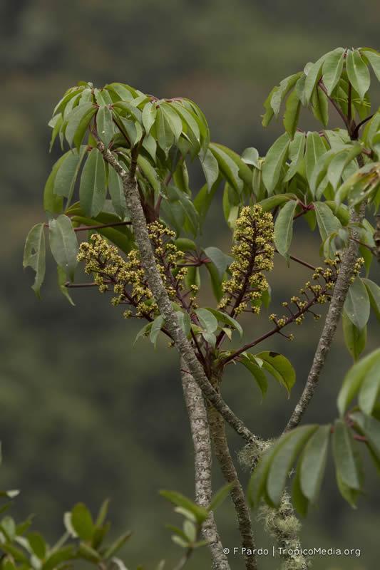 Schefflera paniculitomentosa Cuatrec. - Araliaceae (Endémica)