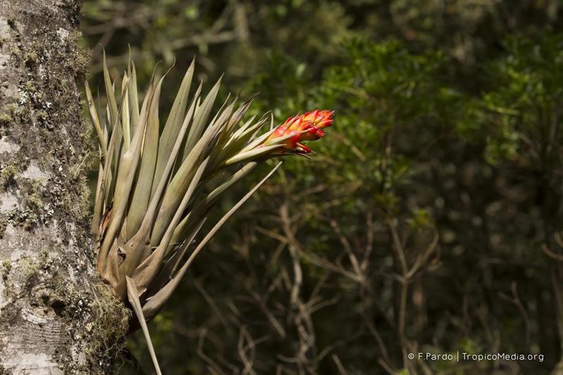 Tillandsia turneri –Bromeliaceae