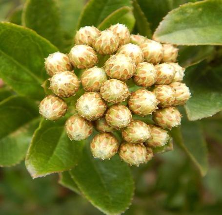 Baccharis prunifolia Kunth –Asteraceae