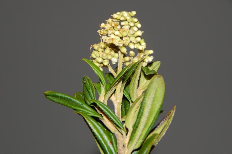 Miconia elaeoides –Melastomataceae