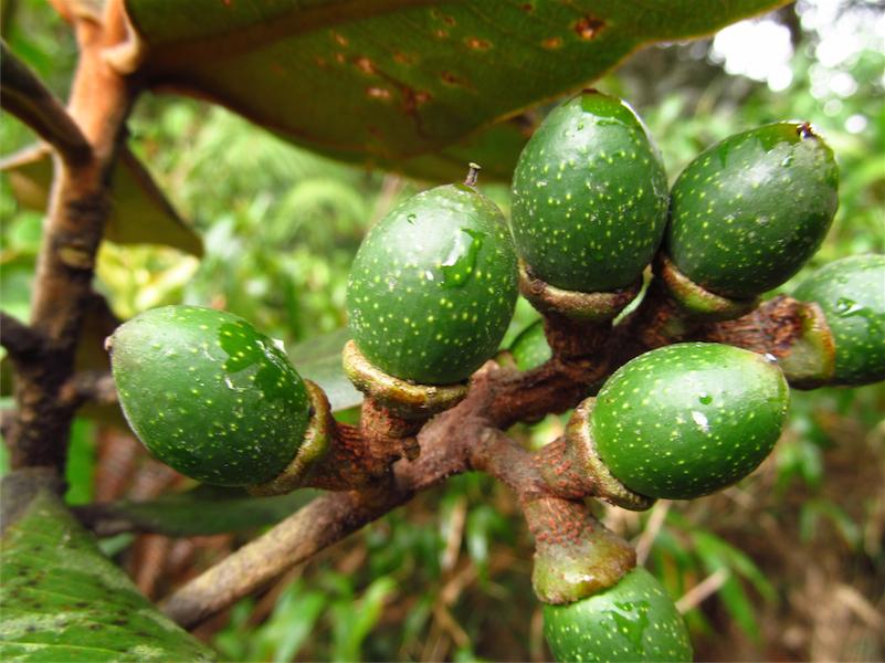 Ocotea fulvescens –Lauraceae