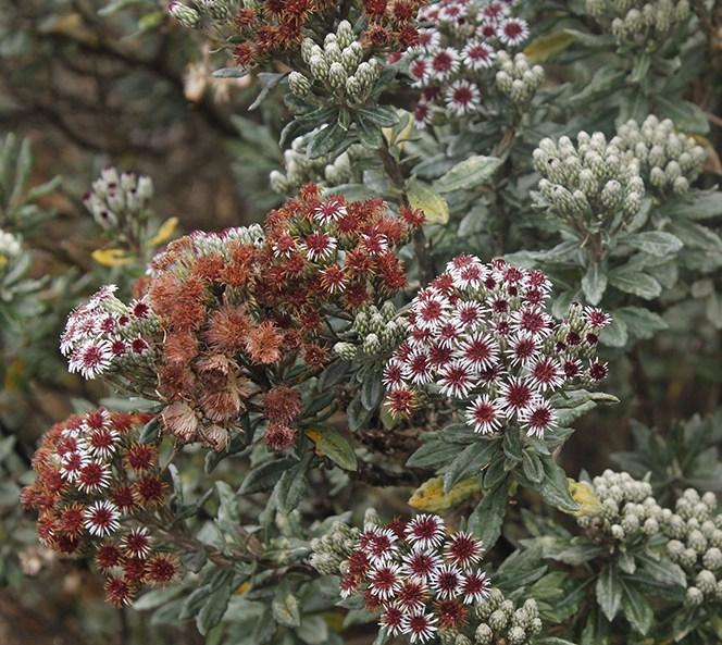 Diplostephium alveolatum Cuatrec. – Asteraceae(Endémica)