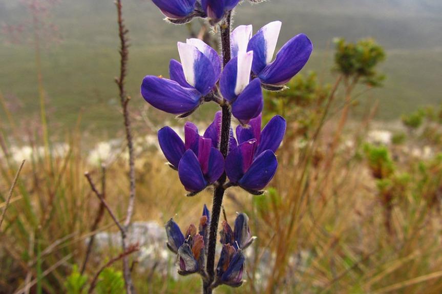 Lupinus crucis-viridis –Fabaceae