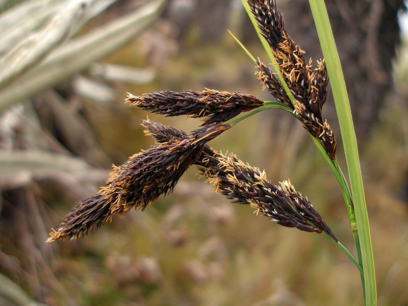 Carex pichinchensis –Cyperaceae