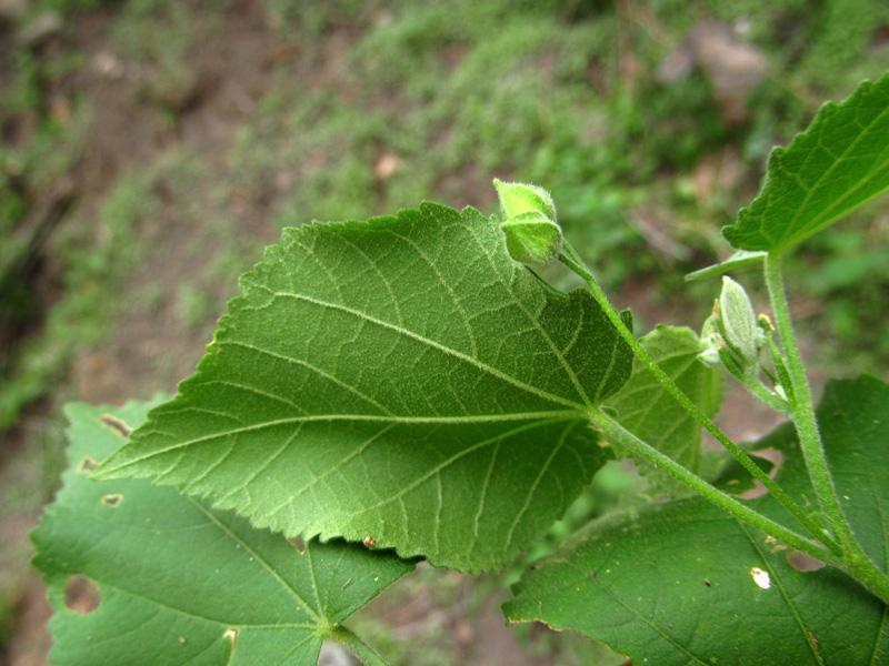 Pseudoabutilon umbellatum –Malvaceae