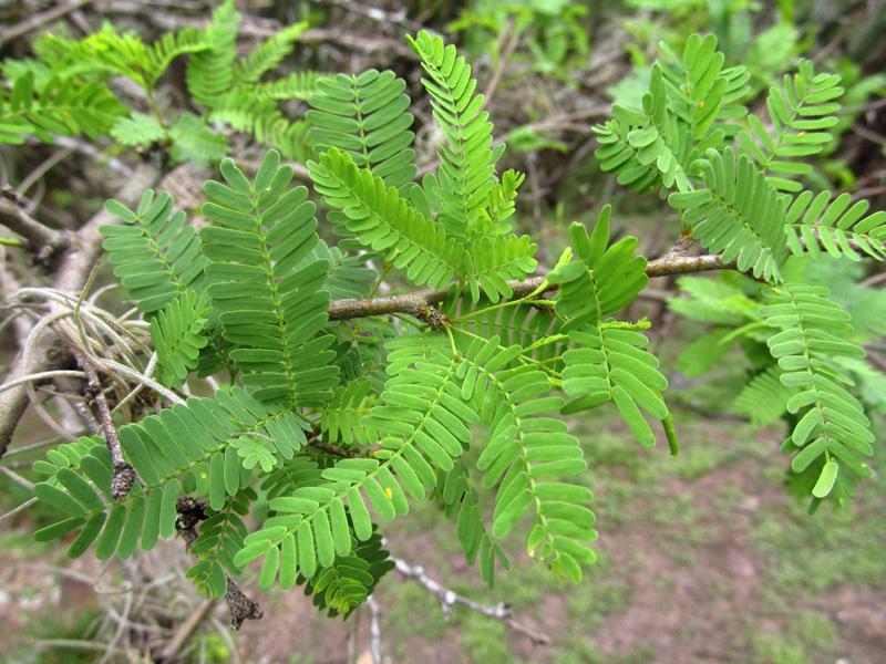 Prosopis juliflora –Fabaceae