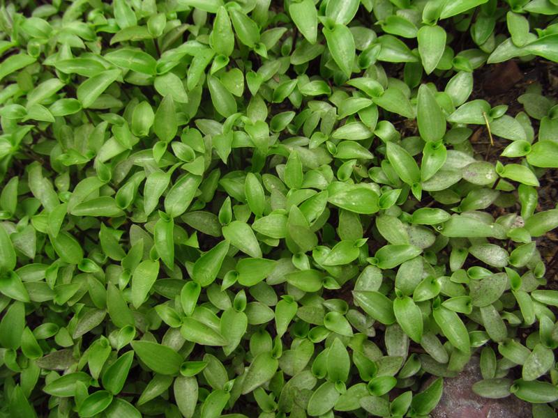 Callisia repens –Commelinaceae