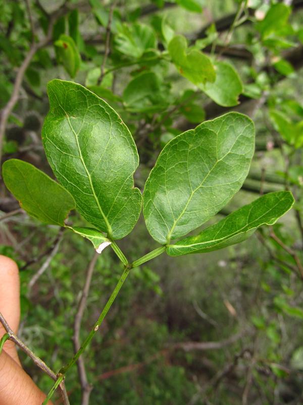 Pithecellobium oblongum –Fabaceae